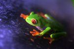 Red-eyed Treefrog (Agalychnis callidryas) [panama_1254]