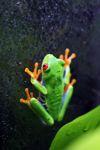 Red-eyed Treefrog (Agalychnis callidryas) [panama_1256]