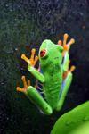 Red-eyed Treefrog (Agalychnis callidryas) [panama_1257]