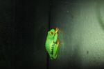 Red-eyed Treefrog (Agalychnis callidryas) [panama_1258]
