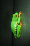 Red-eyed Treefrog (Agalychnis callidryas) [panama_1259]