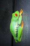 Red-eyed Treefrog (Agalychnis callidryas) [panama_1262]