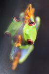 Red-eyed Treefrog (Agalychnis callidryas) [panama_1263]