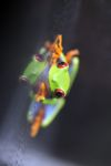 Red-eyed Treefrog (Agalychnis callidryas) [panama_1264]