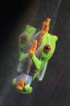 Red-eyed Treefrog (Agalychnis callidryas) [panama_1267]