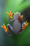 Red-eyed Treefrog (Agalychnis callidryas) [panama_1268]
