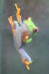 Red-eyed Treefrog (Agalychnis callidryas) [panama_1271]