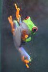 Red-eyed Treefrog (Agalychnis callidryas) [panama_1272]