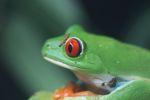 Red-eyed Treefrog (Agalychnis callidryas) [panama_1273]