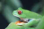 Red-eyed Treefrog (Agalychnis callidryas) [panama_1274]