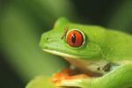 Red-eyed Treefrog (Agalychnis callidryas) [panama_1279]