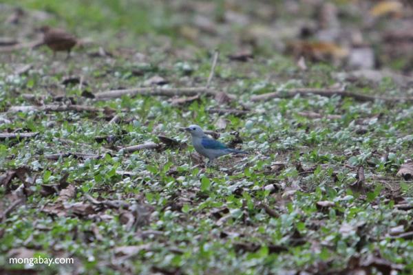 Blue tanager [panama_0031]