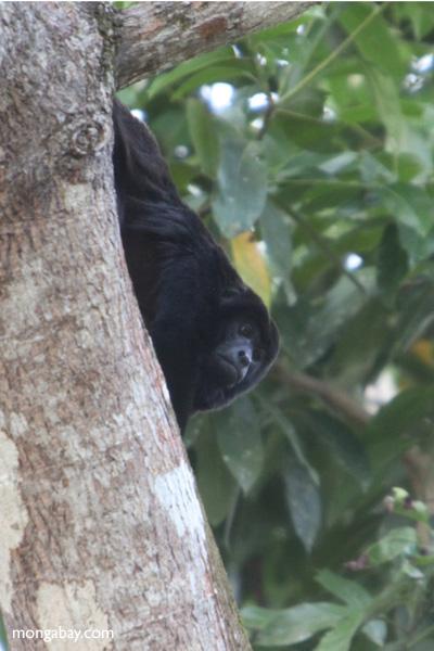 Male black howler monkey