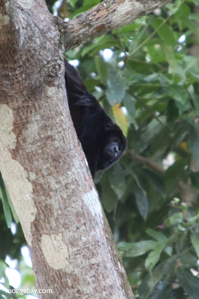 Male black howler monkey [panama_0045]