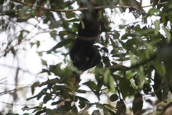 Male black howler monkey [panama_0047]