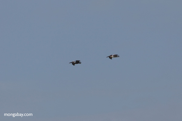 Pelicans in flight [panama_0051]