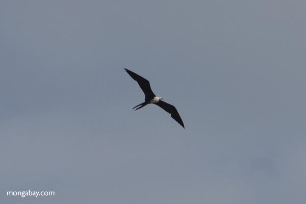 Bird [panama_0056]