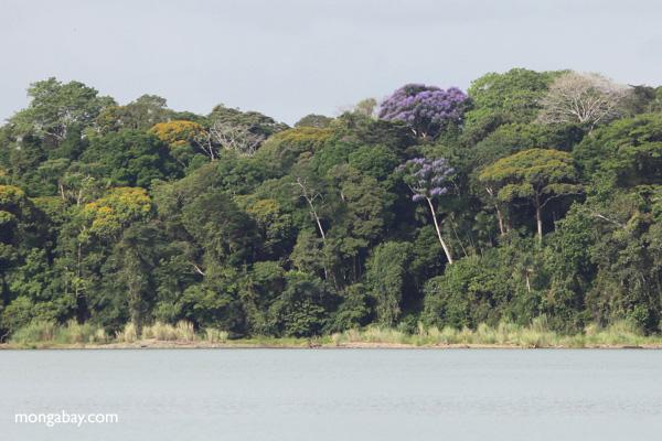 Flowering Jacaranda tree in the rainforest of Panama [panama_0077]