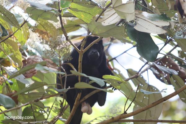 Male howler monkey [panama_0095]