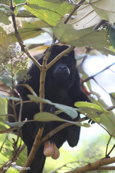Male howler monkey [panama_0096]