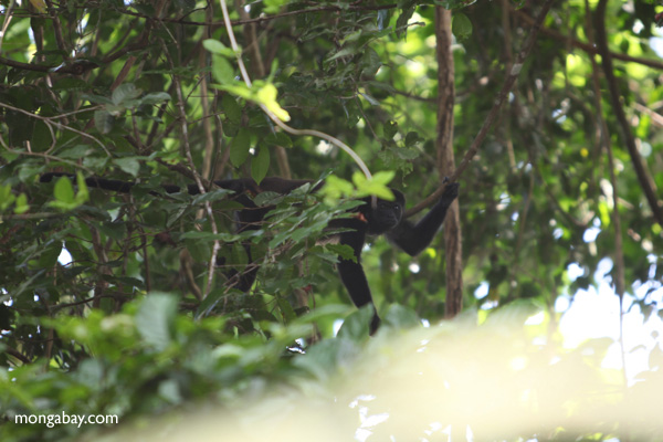 Male howler monkey [panama_0098]
