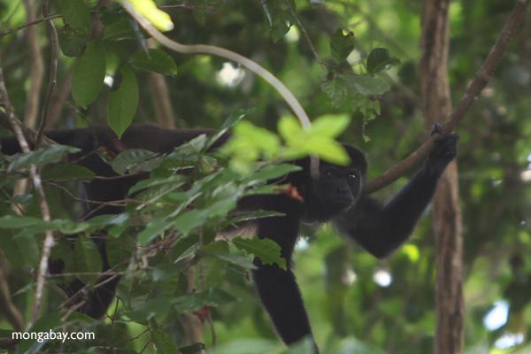 Male howler monkey [panama_0099]