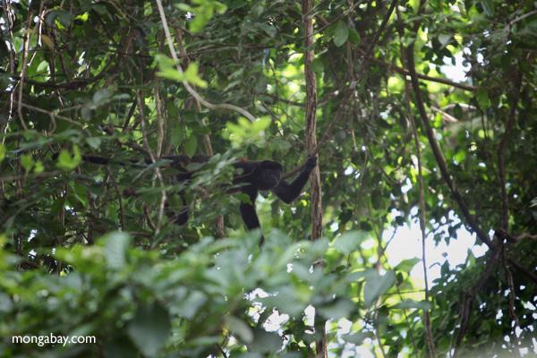 Male howler monkey [panama_0100]