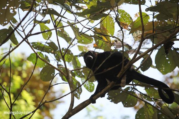 Male howler monkey [panama_0101]