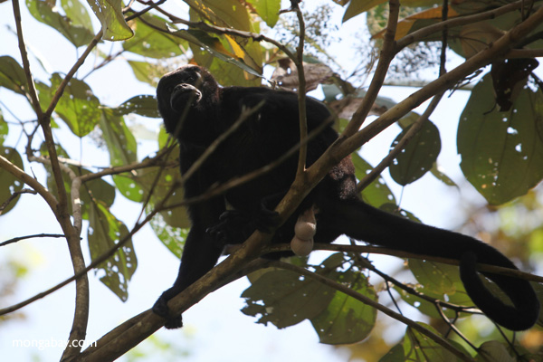 Male howler monkey [panama_0102]