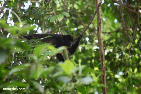 Male howler monkey [panama_0104]