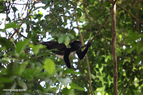 Male howler monkey [panama_0107]