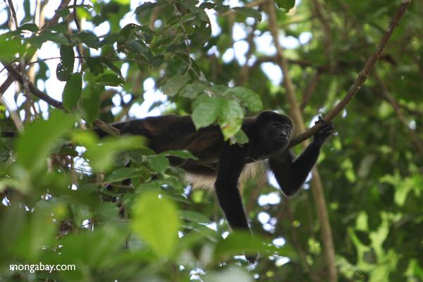 Male howler monkey [panama_0108]