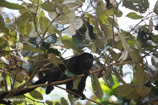 Male howler monkey [panama_0109]