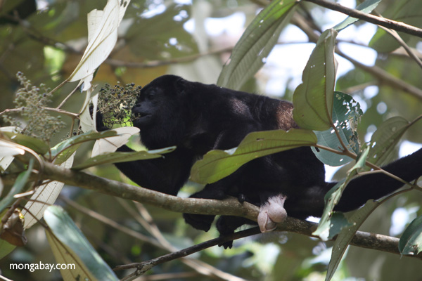 Male howler monkey [panama_0112]