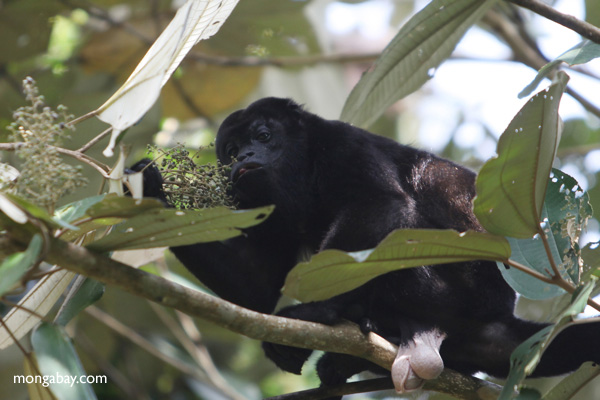 Male howler monkey [panama_0114]