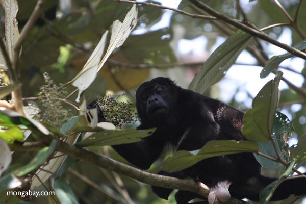 Male howler monkey [panama_0116]