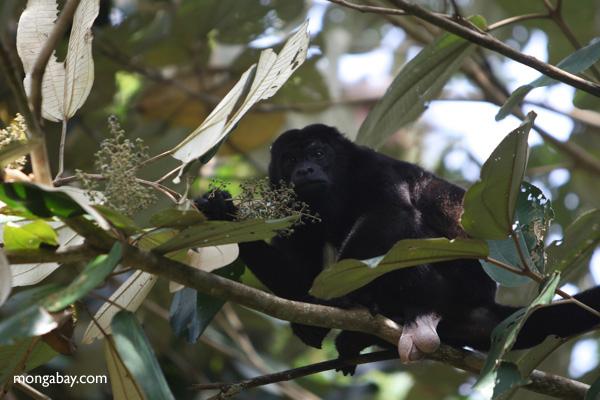 Male howler monkey [panama_0121]