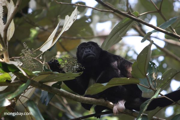 Male howler monkey [panama_0122]