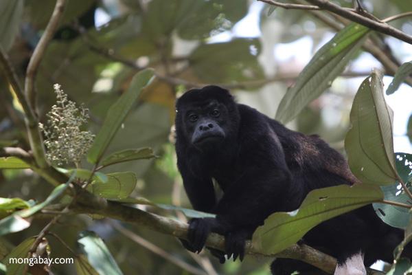 Male howler monkey [panama_0126]