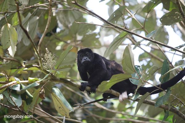 Male howler monkey [panama_0127]