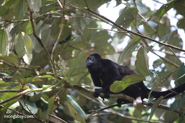 Male howler monkey [panama_0130]
