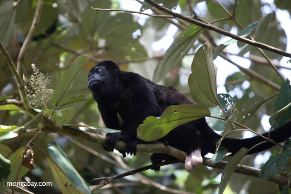 Male howler monkey [panama_0131]