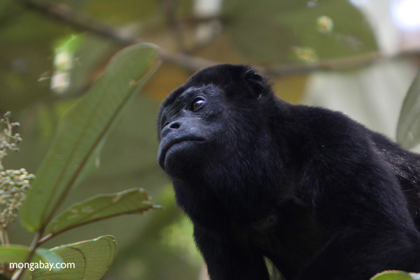 Male howler monkey [panama_0132]