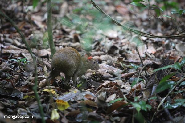 Lowland Paca (Cuniculus paca) [panama_0172]