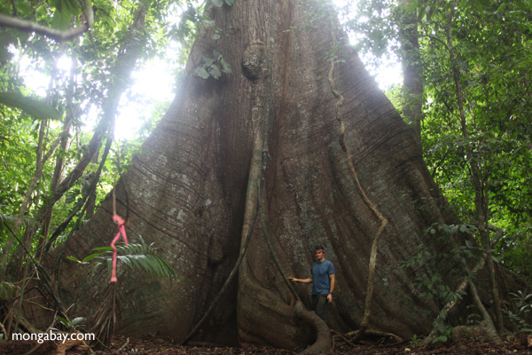 Large buttress roots of a Kapok tree