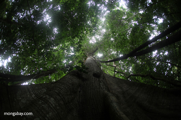 Giant ceiba ('Big Tree') in Panama's rainforest [panama_0206]