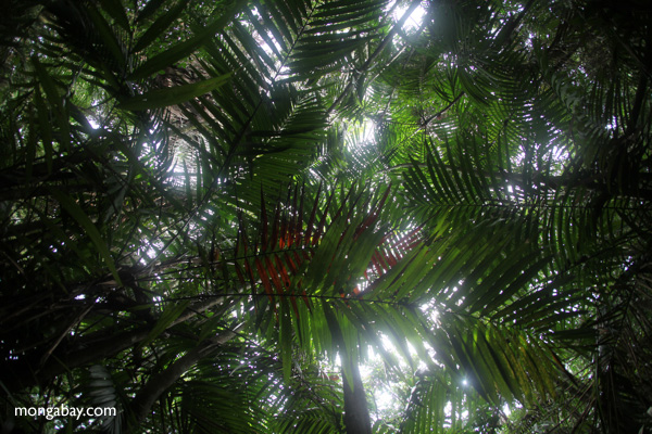 Palm grove in the rainforest