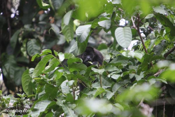 Howler monkey [panama_0228]