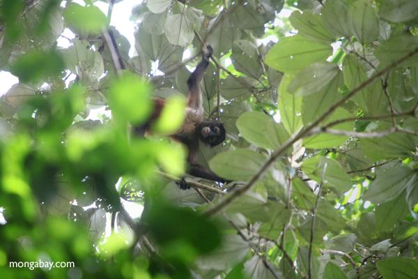 Female spider monkey