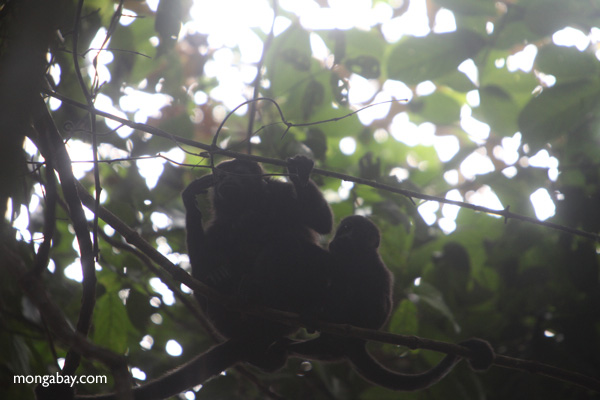 Howler monkeys silhouetted in the rainforest canopy